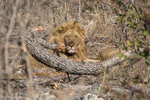 27.7. Moringa Waterhole, Halali - Löwen beim Mahl
