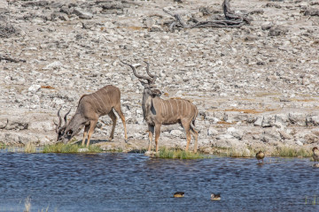 27.7. Ondongab - Kudu