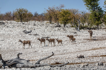 27.7. Olifantsbad - Kudu-Weibchen