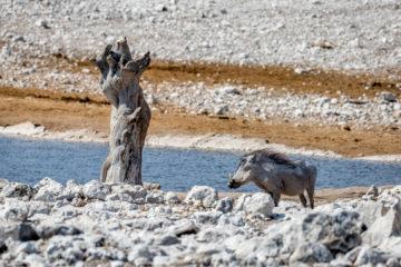 27.7. Olifantsbad - Warthog
