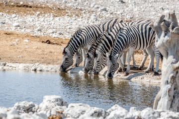 27.7. Olifantsbad  - Zebras