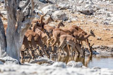27.7. Olifantsbad - Impalas