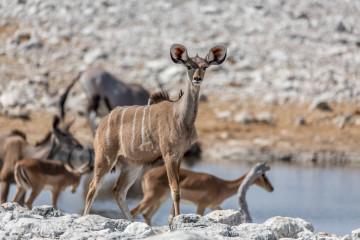 27.7. Olifantsbad - Kudu