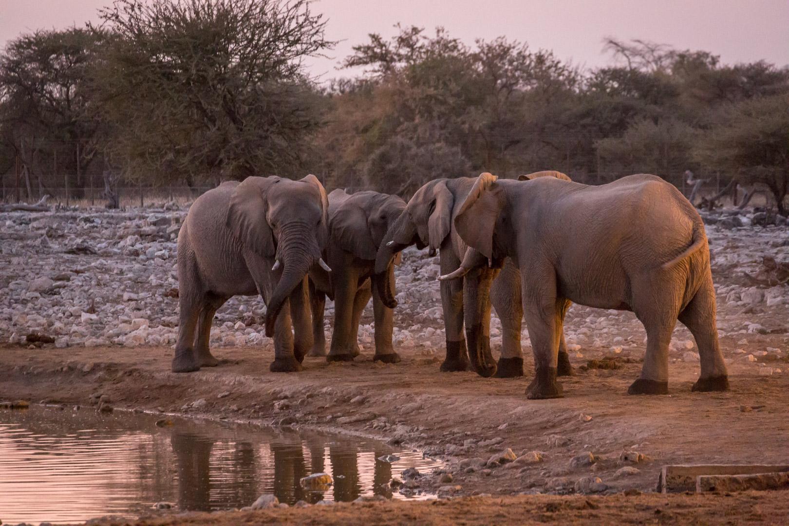 27.7. Okaukuejo Waterhole - Elefantenrat