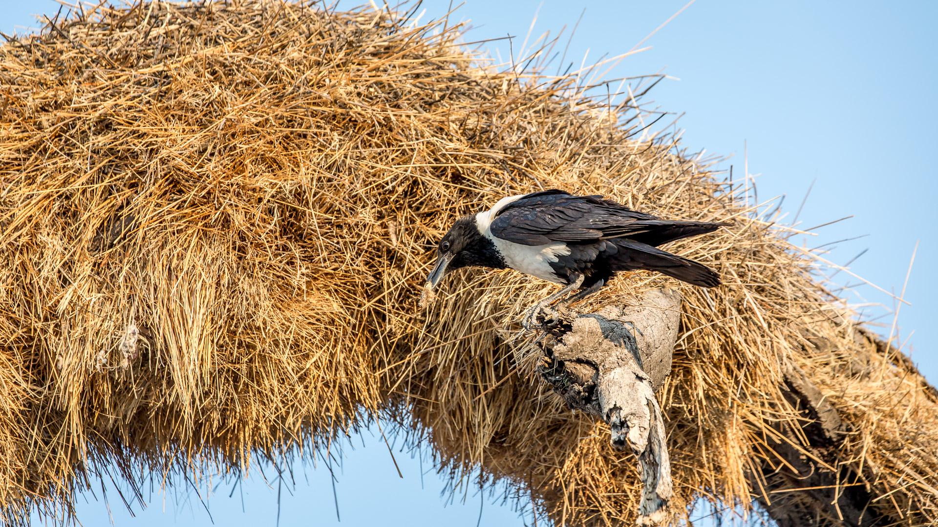 28.7. Okaukuejo Waterhole - Pied Crow (Schildrabe)