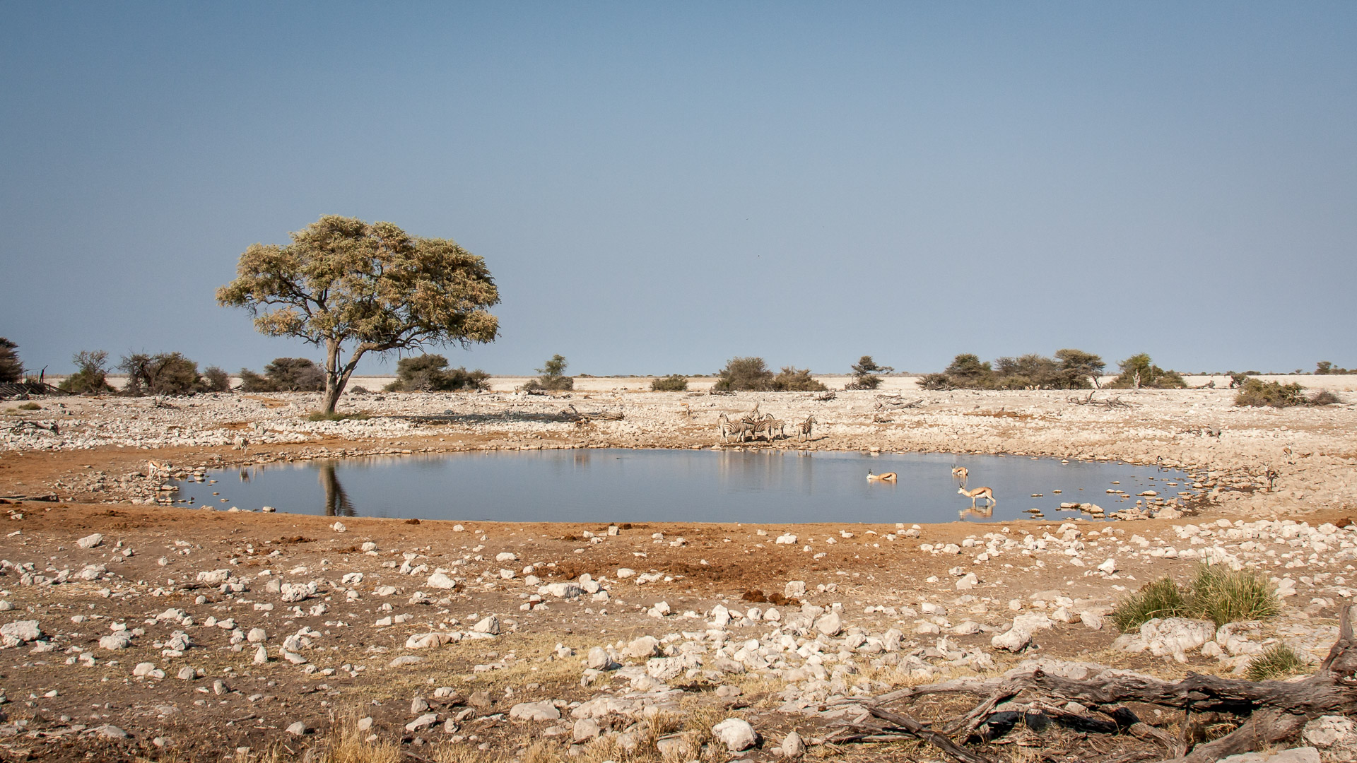 28.7. Okaukuejo Waterhole - Zebras und Springböcke