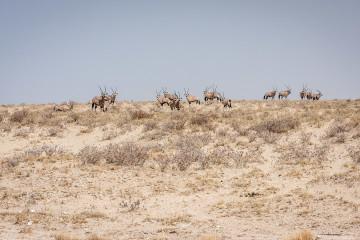28.7. Leeubron - große Oryx-Herde