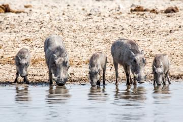 28.7. Ozonjuitji m'Bari - Warthog-Familie