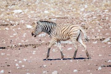 30.7. Renostervlei - Hartmann's Mountain Zebra