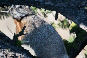 20.7. Yellowstone Picnic Area Trail - Yellow-bellied Marmot