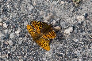 21.7. Old Faithful Area - Upper Geyser Basin - Schmetterling