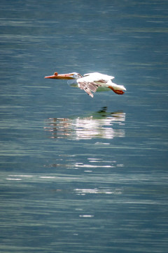 22.7. Jackson Lake - White Pelican