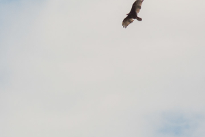 24.7. Flaming Gorge - Turkey Vultures