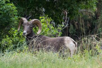 28.7. Bighorn Ram, Sea Cliff