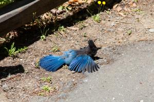 15.-17.7. Humboldt Redwoods SP - Stellar's Jay beim Sonnenbaden ;-)