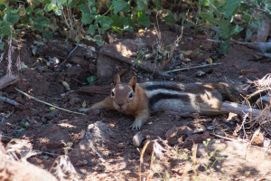 20.7. Viewpoint am #44 - Black mantled Ground Squirrel