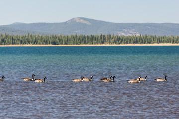 20.-22.7. Eagle Lake - Canada Goose