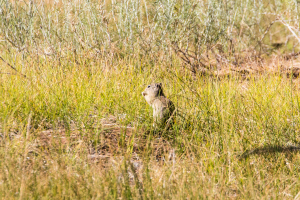 20.-22.7. Eagle Lake - Californian Ground Squirrel