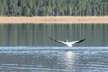 20.-22.7. Eagle Lake - White Pelican