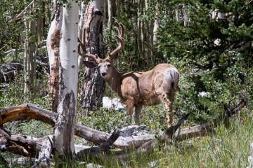 23.-25.7. Great Basin NP - Rocky Mountain Elk
