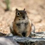 """Great Sand Dunes: """"unser"""" Squirrel am Campground."""