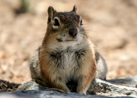 "Great Sand Dunes: ""unser"" Squirrel am Campground."