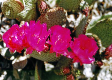 Death Valley: Kaktus-Blüten.