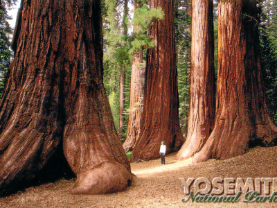 Sequoia-Bäume in der Mariposa Grove.
