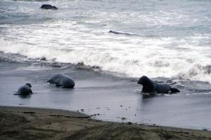 Die See-Elefanten-Kolonie bei San Simeon.