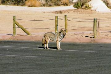 Koyote im Joshua Tree NP.