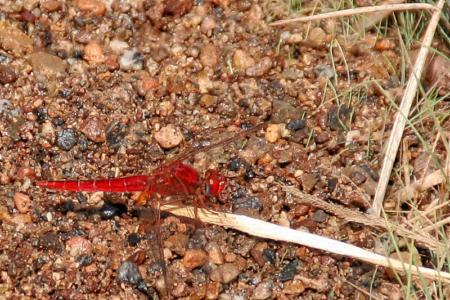 Libelle, 5 cm groß