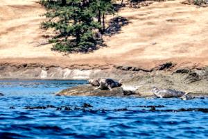 31.7.2017 - Fahrt bis Stuart Island, Seals vor Spieden Island
