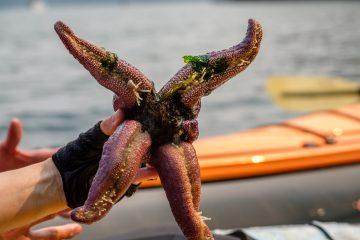 2.8.2017 - Tide Pooling vor Shaw Island: Giant Ochre Star