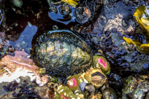 8.8.2017 - Salt Creek Recreation Area, Tide Pooling, Mossy Chiton