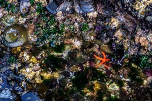 8.8.2017 - Salt Creek Recreation Area, Tide Pooling, Blood Sea Star