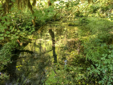 10.8.2017 - Olympic NP, Hoh Rain Forest, Hoh Rain Trail