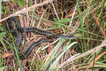 13.8.2017 - Cape Disappointment SP: Northwestern Garter Snake