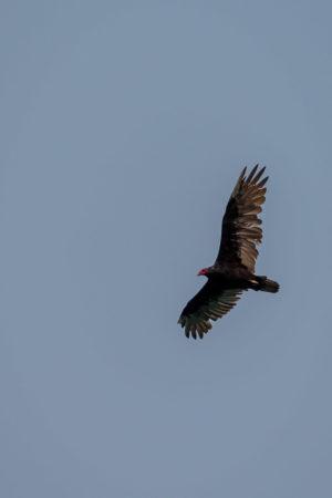 22.8.2017 - Horsethief Lake SP, Turkey Vulture