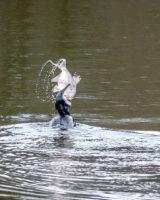 10.3.2018: Stauweiher am Waldstadion - Kormoran frisst eine Brasse