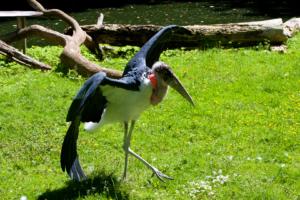 3.6.2010: Zoo Köln - Afrikanischer Marabu