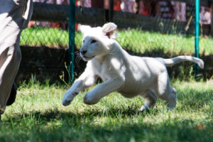 Kikuyu - 3,5 Monate altes weißes Löwenbaby