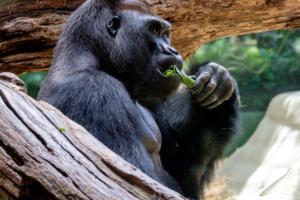 26.5.2018: Zoo Köln - Gorilla