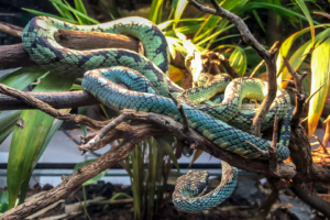 4.6.2018: Naturalis, Leiden (King's cobra - Königskobra)