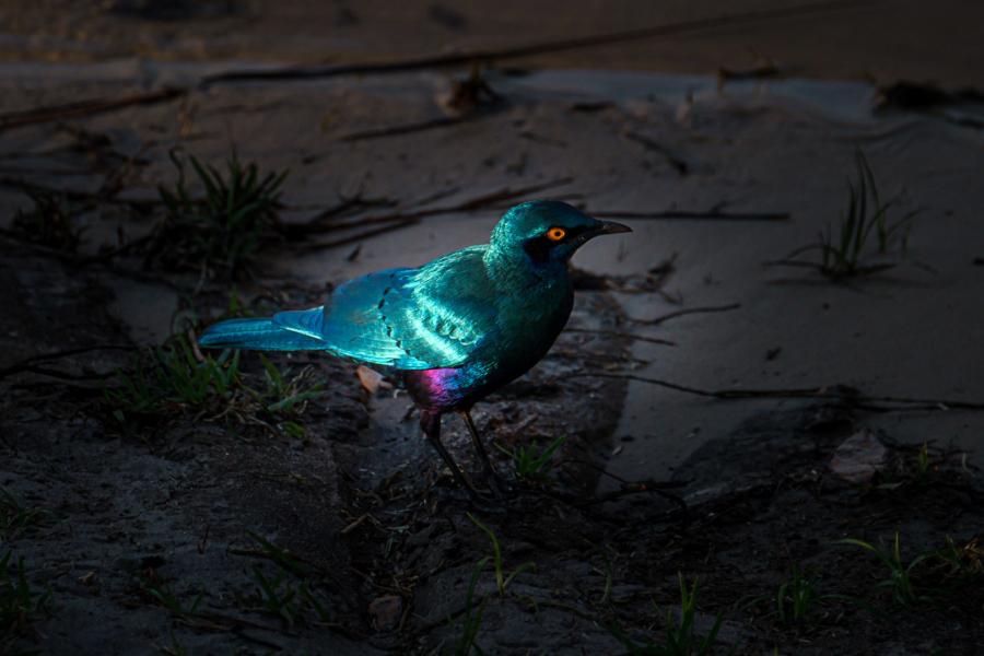 7.9.2019 - Moremi Xakanaxa, Spaziergang zur Bootramp - Greater Blue-eared Starling