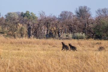 1.9.2019 - Kayak Tag 2, Morning Walk - Spotted Hyena