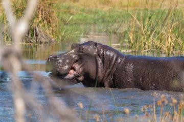 1.9.2019 - Kayak Tag 2, dieses Hippo zwang uns zum Aussteigen