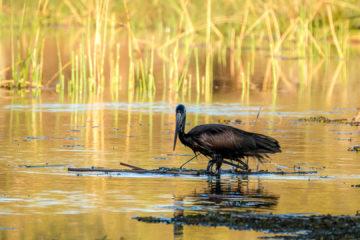 1.9.2019 - Kayak Tag 2, Evening Walk - Open-billed Stork