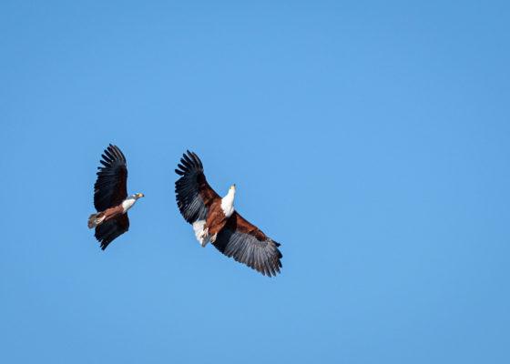2.9.2019 - Kayak Tag 3, Morning Walk - African Fish Eagle im Balzflug
