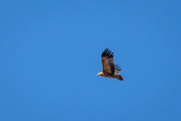 2.9.2019 - Kayak Tag 3, Morning Walk - Tawny Eagle