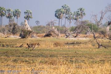 2.9.2019 - Kayak Tag 3, Morning Walk - Spotted Hyena